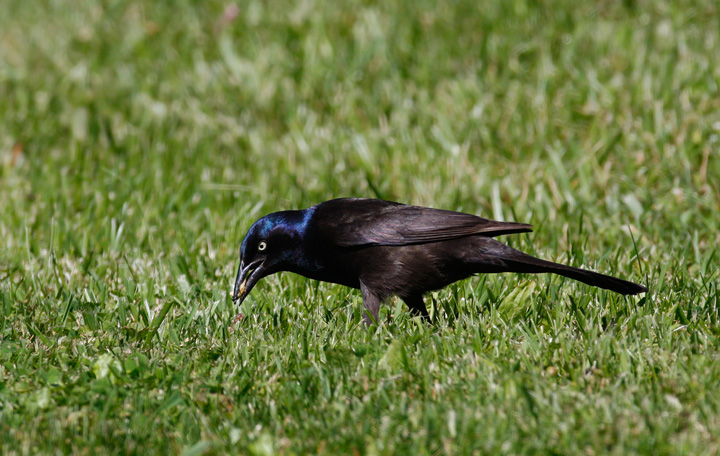 common grackle juvenile. Below: A female Common Grackle