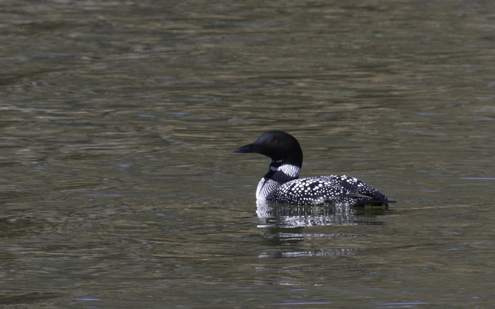 A Common Loon in breeding plumage at Piney Reservoir, Garrett Co., Maryland (3/26/2011). Photo by Bill Hubick.