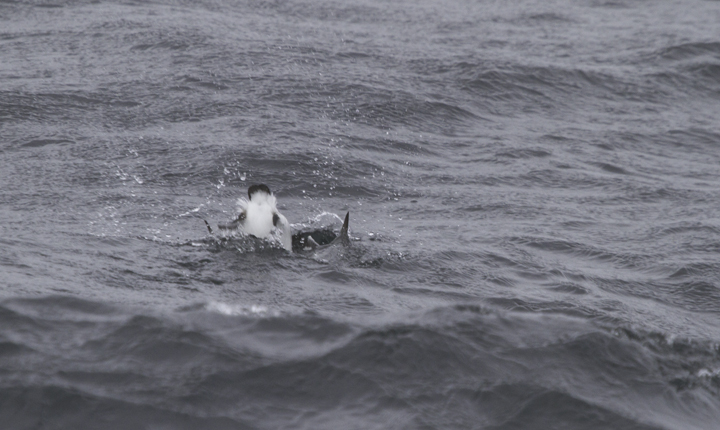 A Common Murre molting into breeding plumage in Maryland waters (2/5/2011). Photo by Bill Hubick.