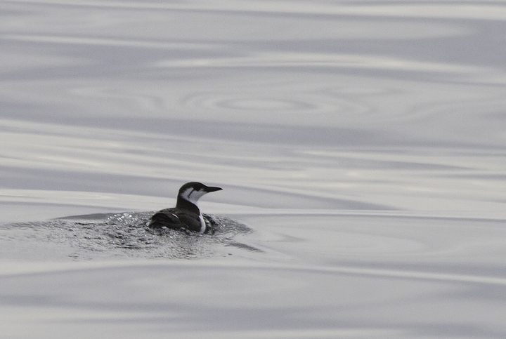 Several of the 14 Common Murres seen on a Maryland pelagic aboard the Morning Star out of Ocean City. This was a new state high count for Maryland (2/26/2011). Thanks to Mark Hoffman for arranging the exceptional trip. Photo by Bill Hubick.