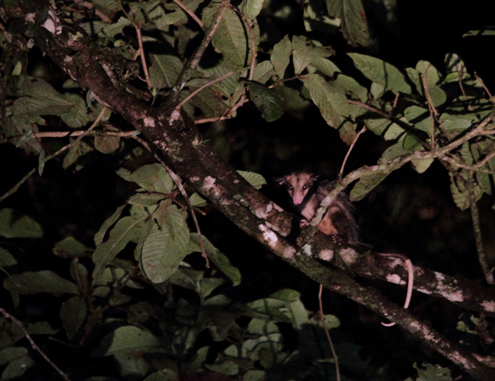 A Common Opossum found on a night outing in the Nusagandi area of Panama (August 2010). Photo by Bill Hubick.