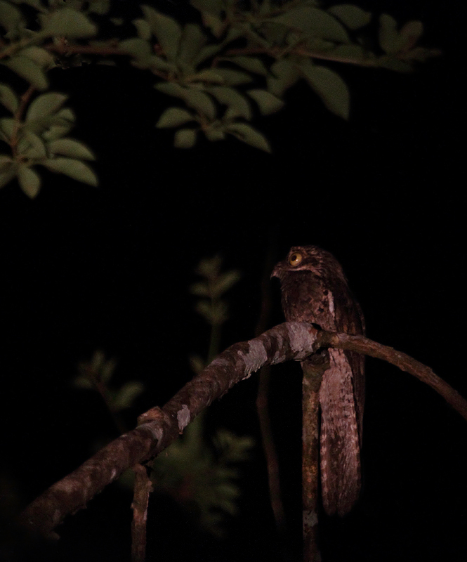 A Common Potoo, the rainforest's most muppet-like of denizens, sings its haunting song (Panama, July 2010). Photo by Bill Hubick.