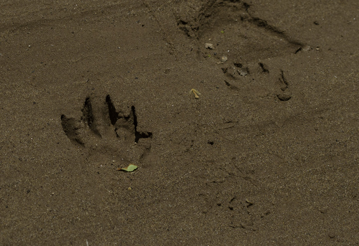 A Common Raccoon track in a sandy bank in Washington Co., Maryland (6/4/2011).. Photo by Bill Hubick.