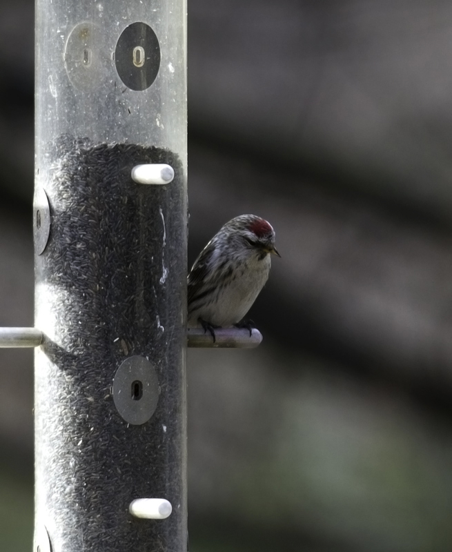 A Common Redpoll in Howard Co., Maryland (3/3/2011). Photo by Bill Hubick.