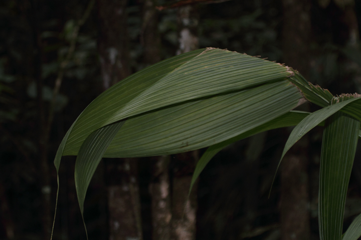 A distinctive seam in this palm leaf betrays the presence of its industrious residents. Photo by Bill Hubick.