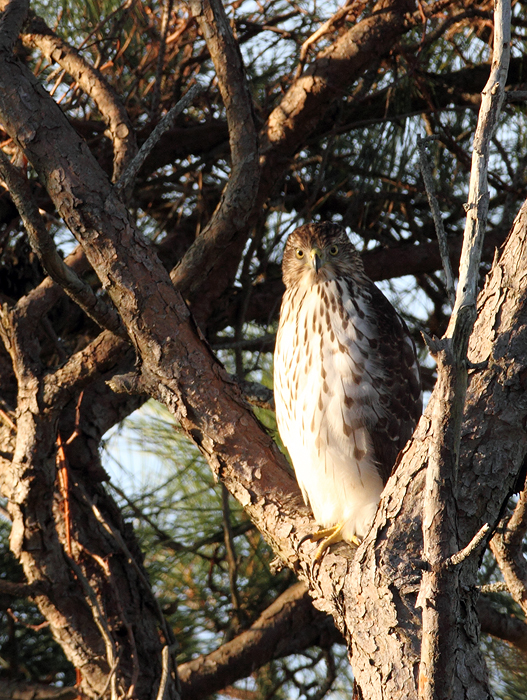 A Cooper's Hawk prowling the Bayside Campground on Assateague Island, Maryland (11/7/2009).