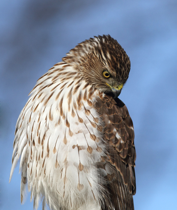 An immature Cooper's Hawk made an attack run on our feeders and then hung out for 30 minutes preening and hunting. It was an immensely enjoyable opportunity to study this beautiful raptor from so close. (Pasadena, Maryland, 2/7/2010). Photo by Bill Hubick.