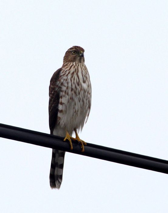 An immature Cooper's Hawk in West Ocean City, Maryland (11/14/2009).
