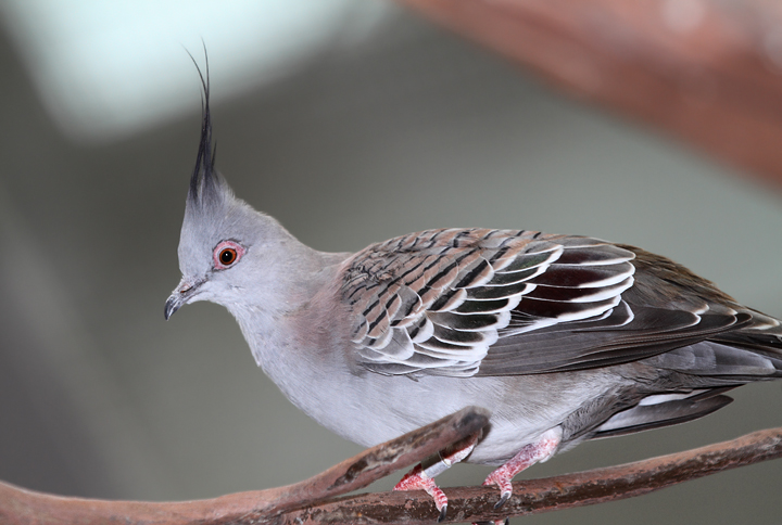 Crested Pigeon - Australia exhibit at the National Aquarium (12/31/2009). Photo by Bill Hubick.