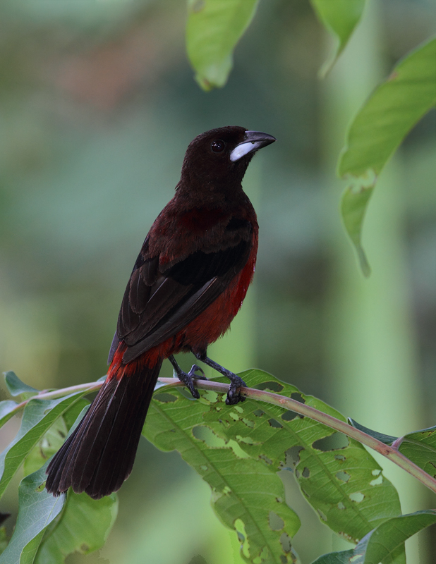 A male Crimson-backed Tanager near Gamboa, Panama (July 2010). Photo by Bill Hubick.