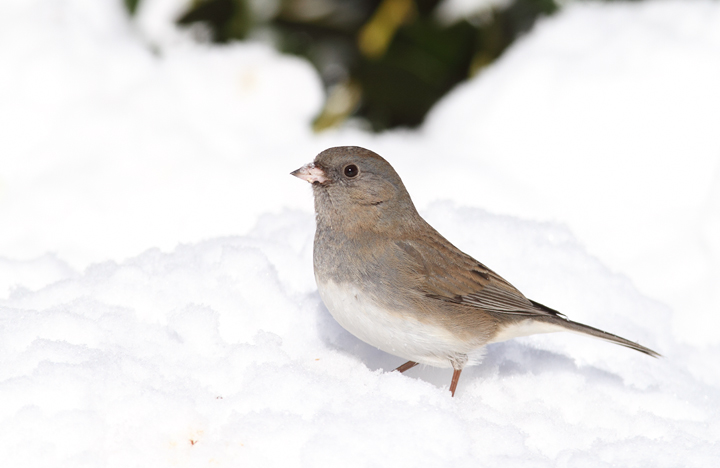 A Dark-eyed Junco feeding in the snow near our feeders (Pasadena, Maryland, 2/7/2010). Photo by Bill Hubick.