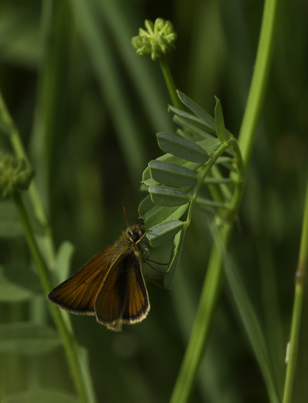 A Delaware Skipper in Washington Co., Maryland (6/4/2011). Photo by Bill Hubick.