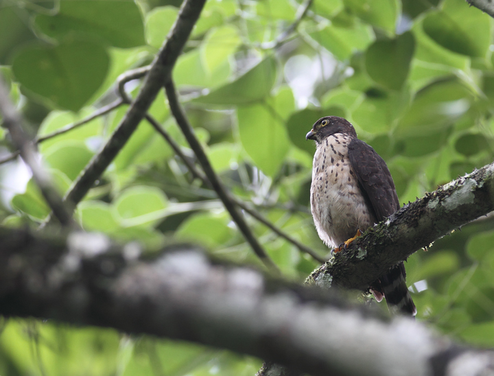 An immature Double-toothed Kite in central Panama (July 2010). Photo by Bill Hubick.
