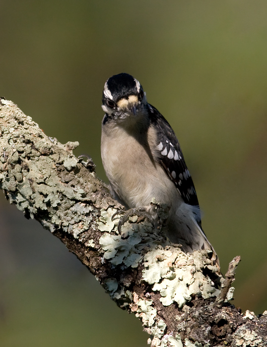 A male Downy Woodpecker on Sideling Hill, Washington Co., Maryland (10/3/2009).