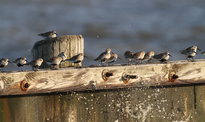 Dunlin roosting amidst heavy winds at the end of Elliott Island Road, Maryland (5/8/2010). Photo by Bill Hubick.