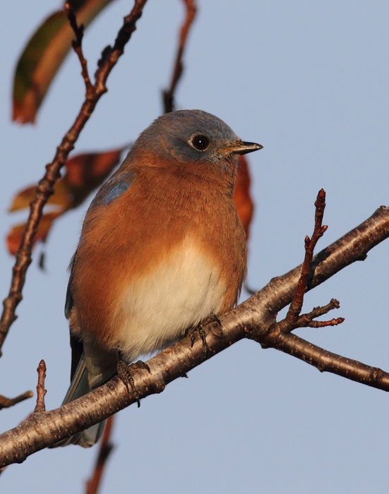 An Eastern Bluebird at Bayside, Assateague Island, Maryland (11/7/2009).