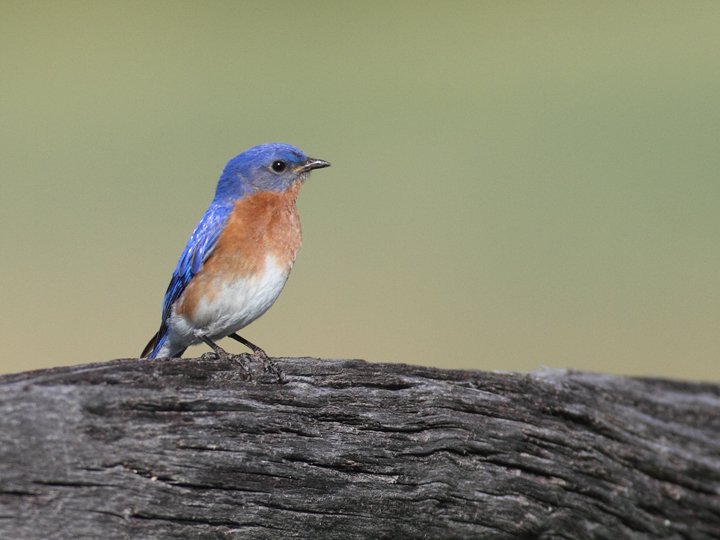An Eastern Bluebird at Antietam National Battlefield, Maryland (5/5/2010). Photo by Bill Hubick.