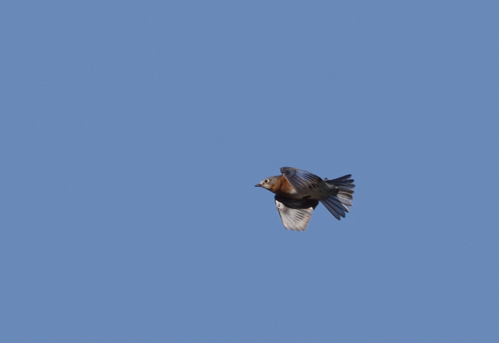An Eastern Bluebird in flight over Point Lookout, Maryland (11/20/2010). Photo by Bill Hubick.