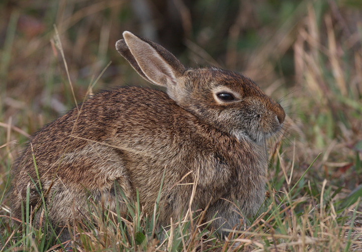 An Eastern Cottontail on Assateague Island, Maryland (10/25/2009).
