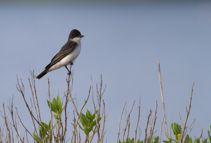 An Eastern Kingbird in Worcester Co., Maryland (6/26/2011). Photo by Bill Hubick.