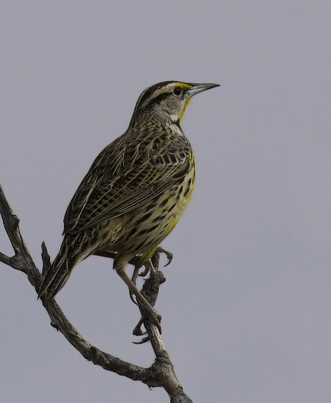 An Eastern Meadowlark that was feeding on the grassy margin of the Assateague Island causeway (2/27/2011). Photo by Bill Hubick.