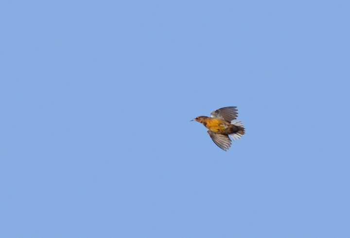 A meadowlark in the morning flight on Assateague Island, Maryland (10/30/2010). The extent of white in the outer tail feathers (3.5 outer retrices) allow identification as Eastern. Photo by Bill Hubick.