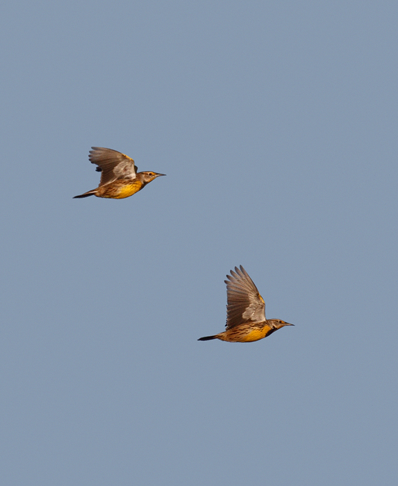 Eastern Meadowlarks in flight over Eastern Neck NWR, Maryland (11/22/2009).
