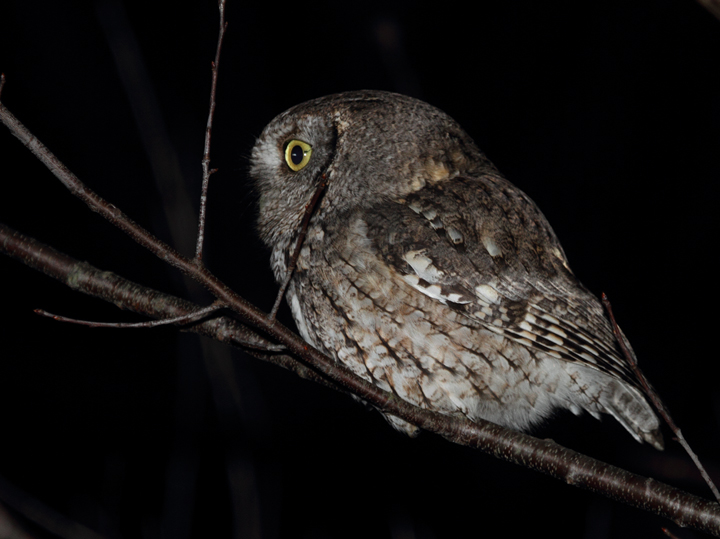 A gray morph Eastern Screech-Owl hunts beside a Wicomico Co., Maryland road (1/16/2011). Photo by Bill Hubick.