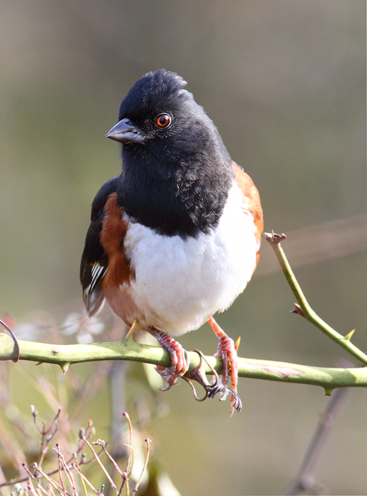A male Eastern Towhee on Assateague Island, Maryland (11/7/2009).