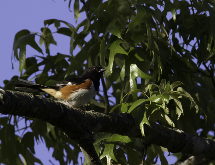 A male Eastern Towhee singing from the top of his favorite trees, Wicomico Co., Maryland (5/11/2011). Photo by Bill Hubick.