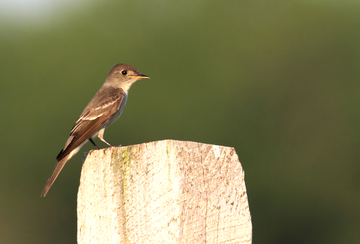 This Eastern Wood-Pewee spent the late afternoon hunting from a fence line in Queen Anne's Co., Maryland (6/19/2010). Photo by Bill Hubick.