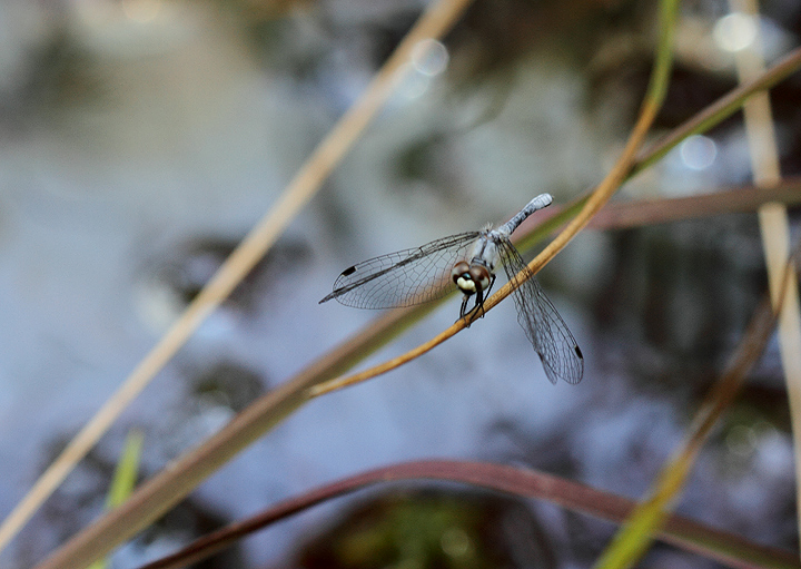 The impossibly tiny Elfin Skimmer, another very rare species in Maryland (Caroline Co., Maryland, 6/27/2010). Photo by Bill Hubick.