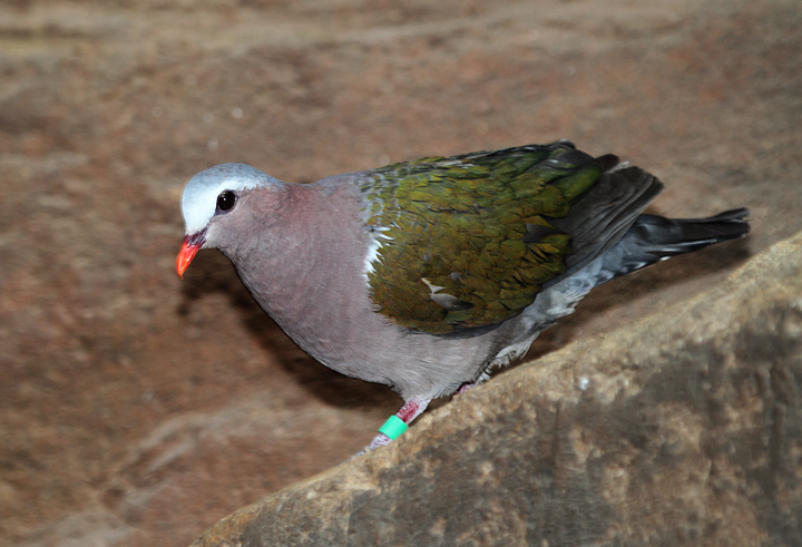 Emerald Pigeon - Australia exhibit at the National Aquarium (12/31/2009). Photo by Bill Hubick.