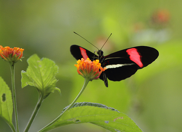 An Erato Longwing near Ballano Lake, Panama (7/10/2010). Photo by Bill Hubick.