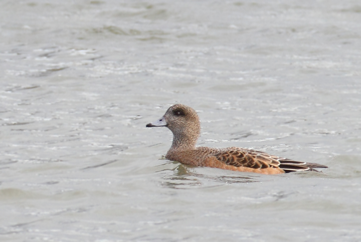 An interesting female American Wigeon (perhaps impossible to rule out a hybrid American x Eurasian) that was originally considered as a candidate for Eurasian. Note fairly uniform coloration between head and lower parts (but with some contrast); warm tones on the head (but mostly at the rear), lack of black markings at the base of the bill (uncommon but OK for American, apparently), and most of all structure (decidedly American). This last element is what kept the discussion of this bird alive (thanks, Matt Hafner, who remained troubled by the structure). Compare the shape of this bird and the definite Eurasian above. Discussion also brought to light that the lack of black line is highly suggestive, but <em>not</em> diagnostic as many believe. Discussion of challenging individuals like this one is so valuable to improving both our own and our collective identification skills. Same location as above near Ocean City, Maryland (12/5/2010). Thanks to Matt Hafner, Marshall Iliff, Mikey Lutmerding, and Dave Ziolkowski for contributing valuable input to the ID discussion. Photo by Bill Hubick.