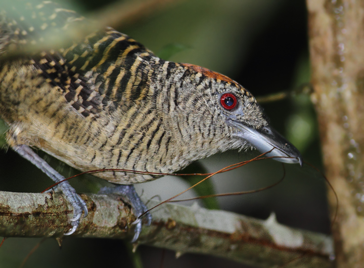 A female Fasciated Antshrike gathering nesting material (Panama, July 2010). Photo by Bill Hubick.