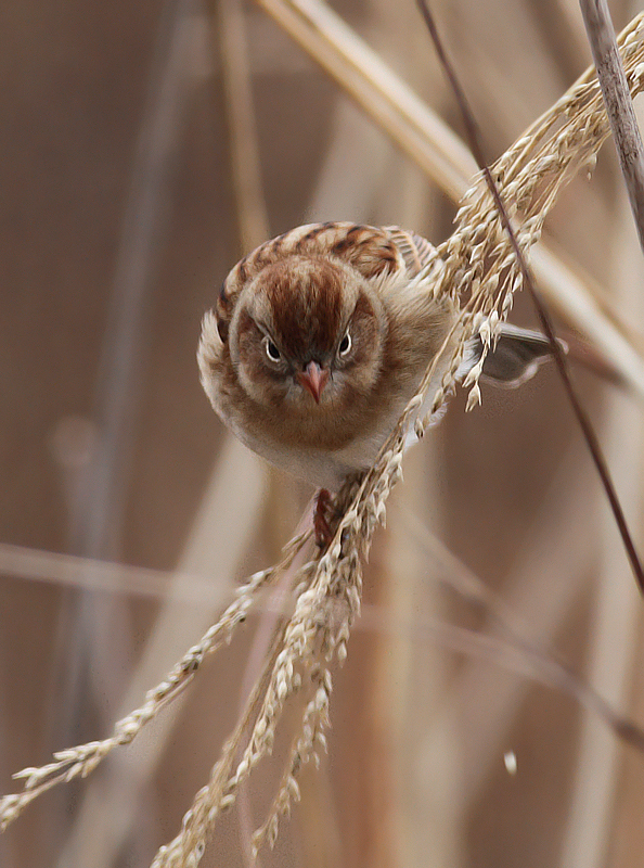 A Field Sparrow feeding on seed heads in Charles Co., Maryland (12/18/2010). Photo by Bill Hubick.