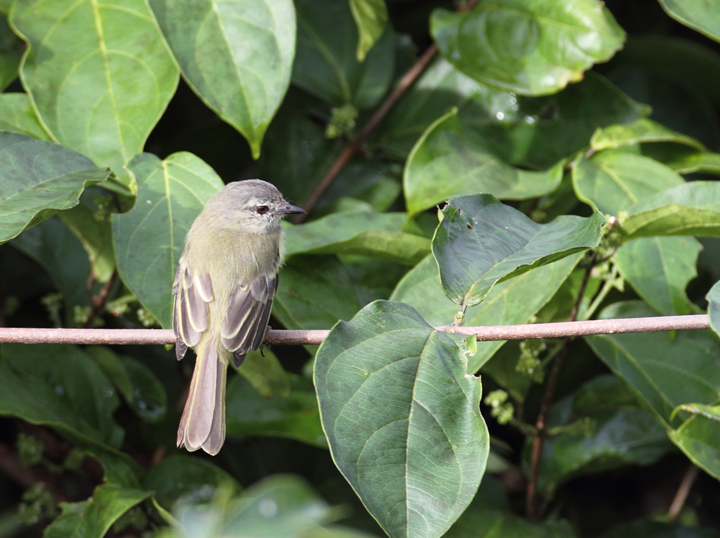 The diminutive Forest Elaenia foraging in the canopy (Panama, July 2010).  Photo by Bill Hubick.