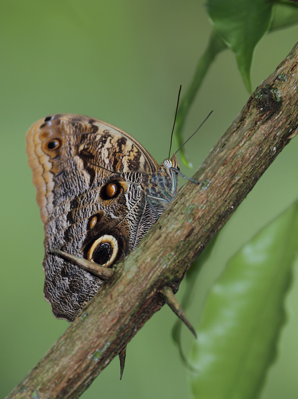 A huge, stunning owl butterfly, Forest Giant Owl (<em>Caligo eurilochus</em>) in Panama (July 2010). Photo by Bill Hubick.