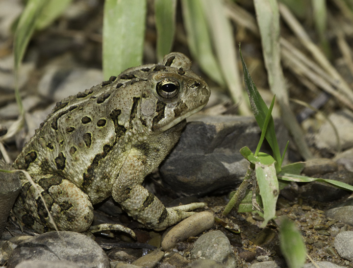 A Fowler's Toad in Allegany Co., Maryland (6/4/2011). Closely tied to the coastal plain, this was my first definitive encounter with the species this far west in Maryland. It is known from areas near the Potomac River even in western Maryland. Photo by Bill Hubick.