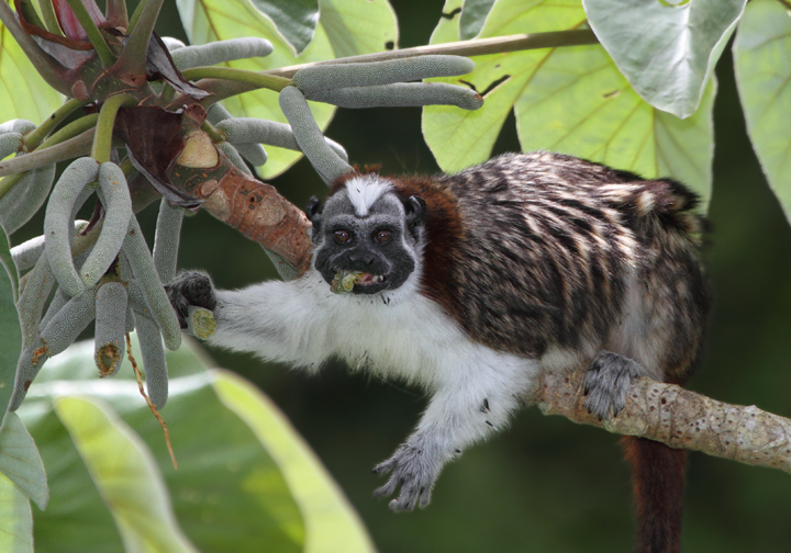 A Geoffroy's Tamarin hanging out and feeding on cecropia fruit (Panama, July 2010). Photo by Bill Hubick.
