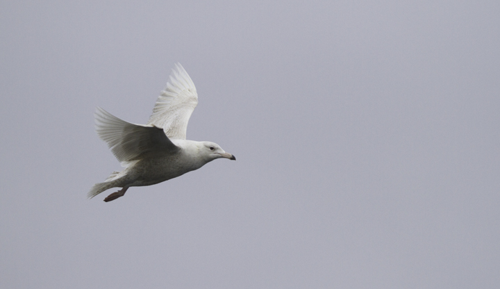 A first-cycle Glaucous Gull shadowed the boat for miles and miles of open ocean in Maryland and Delaware waters (2/5/2011). Photo by Bill Hubick.
