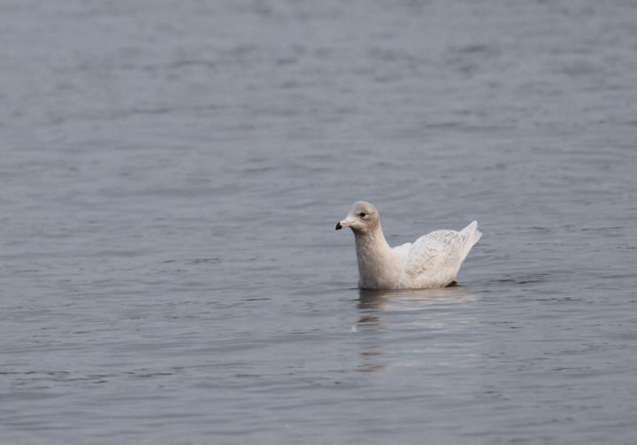 A first-cycle Glaucous Gull at Solomons, Calvert Co., Maryland (12/6/2009).