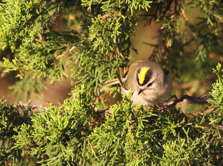One of many Golden-crowned Kinglets foraging at Bayside, Assateague Island (10/30/2010). Photo by Bill Hubick.