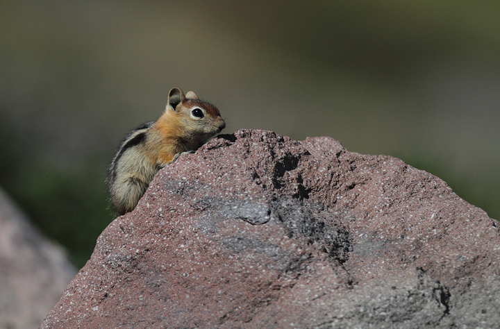 Golden-mantled Ground-squirrels on Mount Hood, Oregon (9/2/2010). Photo by Bill Hubick.