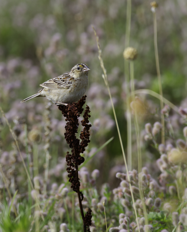 A Grasshopper Sparrow on territory near Public Landing, Worcester Co., Maryland (6/26/2011). Photo by Bill Hubick.