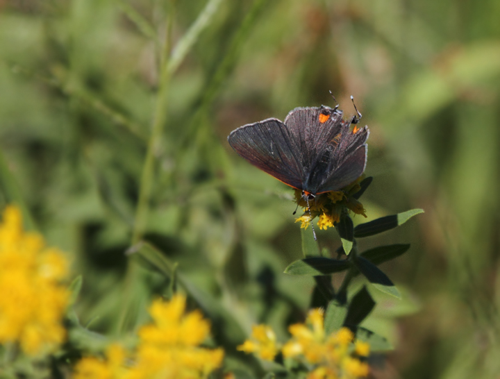 A Gray Hairstreak offers an uncommon view with spread wings - St. Mary's Co., Maryland (10/2/2010). Photo by Bill Hubick.