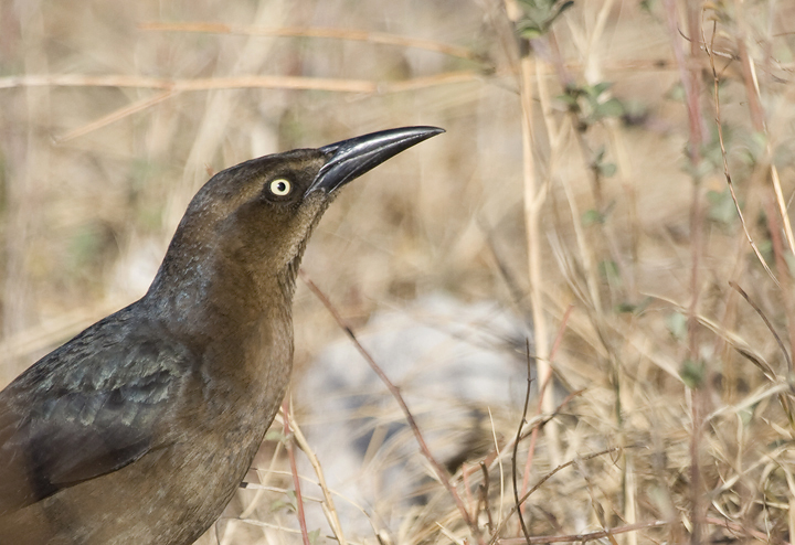female common grackle. Below: A female Great-tailed