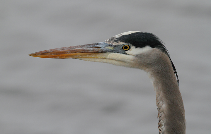 A Great Blue Heron at Blackwater NWR, Maryland (12/25/2009). Photo by Bill Hubick.