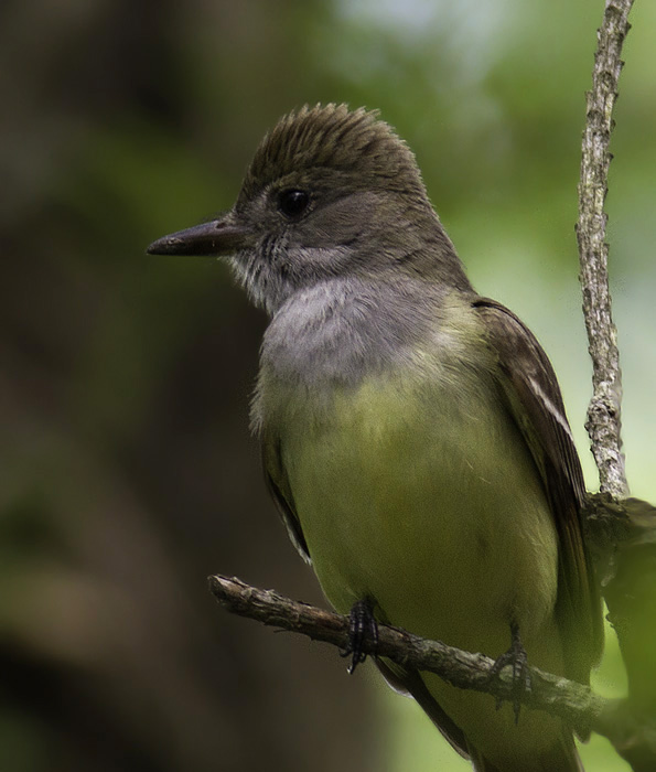 A Great Crested Flycatcher in Somerset Co., Maryland (5/11/2011). Photo by Bill Hubick.